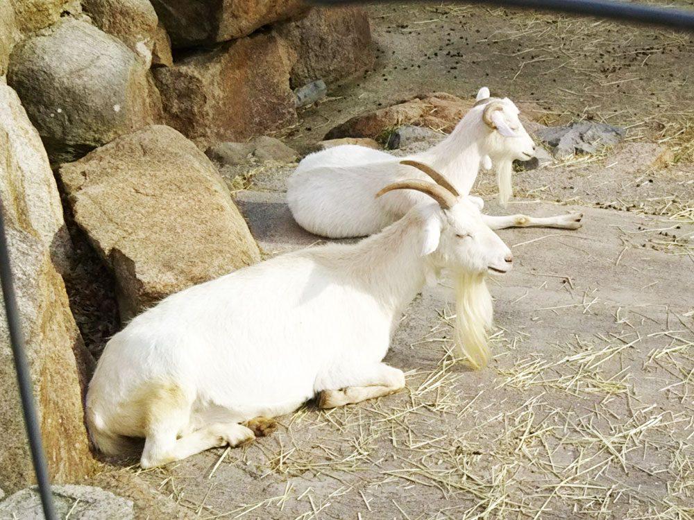 六甲山牧場のヤギが2匹です
